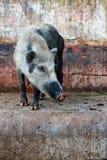 wild pig Arkivfoton