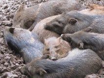 wild pig Royaltyfria Foton