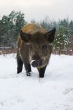Wild pig. Royalty Free Stock Photos