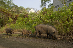Wild pig in the abandon village Stock Images