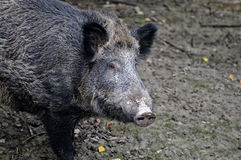 Wild pig in the autumn forest Royalty Free Stock Photos