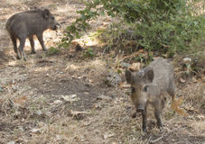 Wild pig babies Royalty Free Stock Images