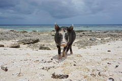 Wild pig on the beach French Polynesia Stock Image