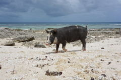 Wild pig on beach French Polynesia Royalty Free Stock Image