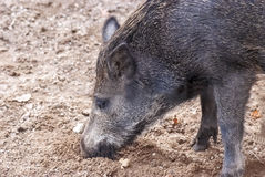 Wild pig, boar... Good quality close up photo of a boar (wild pig), digging in the ground. Funny young hog with no fangs, dark skin and fur, coarse hair, large royalty free stock image