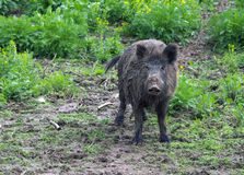 Wild pig or boar. Wild pig or wild boar in grass and mud.  Genus: Sus Royalty Free Stock Photography