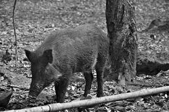 Wild pig. Boar is walking through the woods free Stock Photo