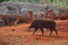 Wild pig. Boar is walking through the woods free Royalty Free Stock Image
