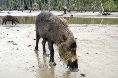 Wild Pig, Borneo Royalty Free Stock Photos