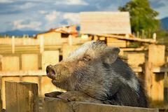 The wild pig is climbing on the fence. Royalty Free Stock Photo