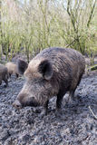 Wild pig. Close to camera in muddy wood-landscape Stock Photography