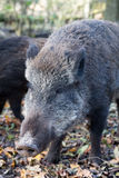 Wild pig. Close up Wild Pig head Royalty Free Stock Image
