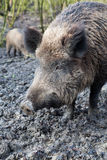 Wild pig. Close up head of wild pig Stock Images