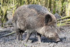 Wild pig. Close up Wild pig in muddy wood-landscape Stock Photography