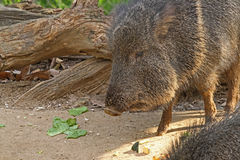Wild Pig. Close Up Peccary Walking In shadow Stock Photo