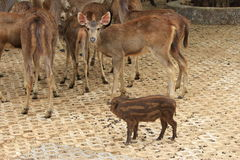 Wild Pig and deers Royalty Free Stock Photo