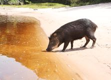 Wild pig drinking water Stock Photo