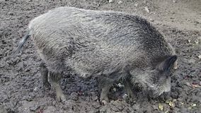Wild pig eating in mud stock video footage