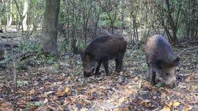 Wild Pig. stock footage