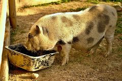 Wild pig when feeding in a contact ZOO. Stock Photos