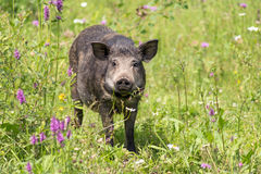 Wild pig. On a flower meadow Carpathians, Ukraine royalty free stock image