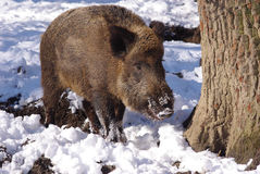Wild pig in the forest Stock Image
