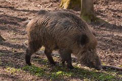Wild pig in the forest Stock Images