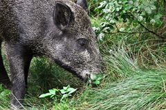 Wild pig in the forest Royalty Free Stock Photography