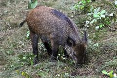 Wild pig in the forest Royalty Free Stock Images