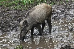 Wild pig in the forest Stock Photos