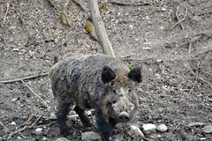 Wild pig in the forest Royalty Free Stock Image
