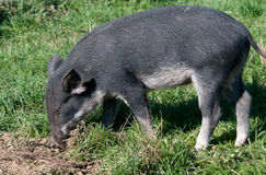 Wild pig Royalty Free Stock Photos