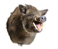 Wild pig head royalty free stock photos