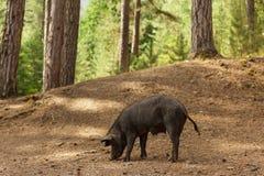 Wild pig i skog Arkivbilder