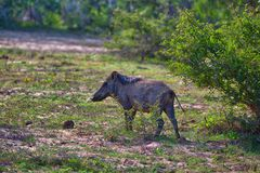 A wild pig ist standing in the green grass in the Yala Nationalpark. On the tropical island Sri Lanka in the Indian Ocean during a jeep safari tour royalty free stock image