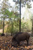 Wild pig. Wild Pig looking for acorns between leaves Royalty Free Stock Image