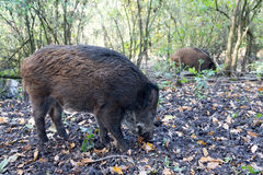 Wild pig. Wild Pig looking for acorns between leaves Stock Images