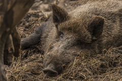 Wild pig lying on wet dirty hay Stock Image
