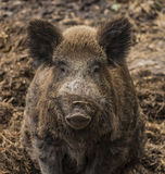 Wild pig lying on wet dirty hay Royalty Free Stock Photo
