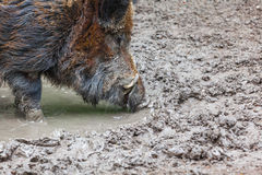 Wild pig Stock Photos
