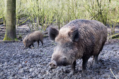 Wild pig. In muddy wood-landscape Royalty Free Stock Image