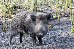 Wild pig. In muddy wood-landscape Royalty Free Stock Photo