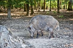 Wild pig in nature reserve royalty free stock images