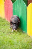 Wild pig in a park Royalty Free Stock Images