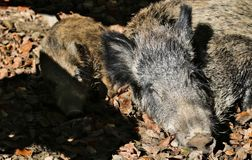 Wild pig and piglet resting in the afternoon sun. In the forrest Royalty Free Stock Photos