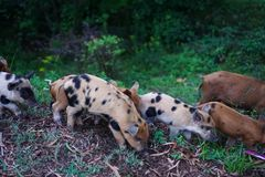 Wild pig with piglets looking for food along the road stock photography