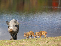 Wild Pig and Piglets Stock Images