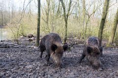 Wild pig. S in muddy wood-landscape Stock Images