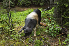 Wild pig portrait Stock Photos