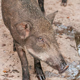 Wild pig. Portrait of wild pig lying in forest ground Stock Photography